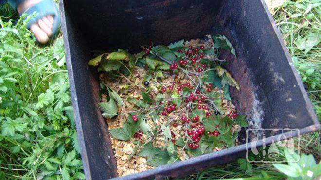 Ветки смородины в коптильне
