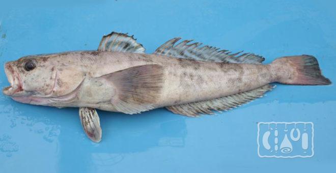 Рыба клыкач