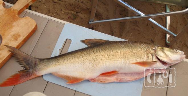 Рыба верхогляд
